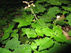 Circaea alpina ssp. alpina - Tara Littlefield