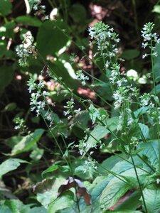Circaea canadensis - Milo Pyne