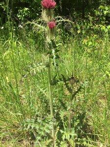 Cirsium horridulum var. horridulum - Joey Shaw
