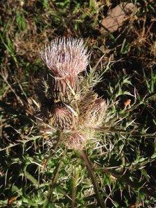 Cirsium horridulum var. horridulum - Milo Pyne