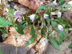 Claytonia caroliniana - Tara Littlefield