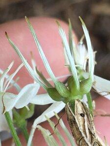 Clematis terniflora - Joey Shaw