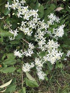 Clematis terniflora - Sunny Fleming