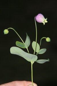 Clematis versicolor - Dwayne Estes