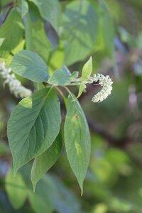 Clethra acuminata - Ashley B. Morris