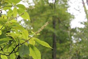 Clethra acuminata - Joey Shaw