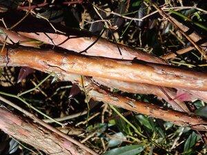 Clethra acuminata - Milo Pyne