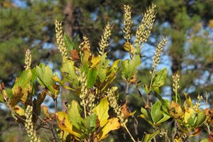 Clethra alnifolia - Milo Pyne