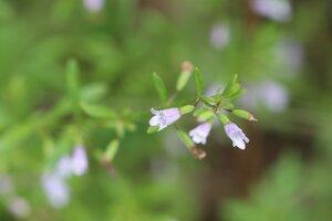 Clinopodium arkansanum - Ashley B. Morris