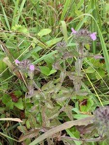 Clinopodium vulgare - Dwayne Estes