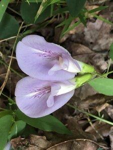 Clitoria mariana var. mariana - Milo Pyne