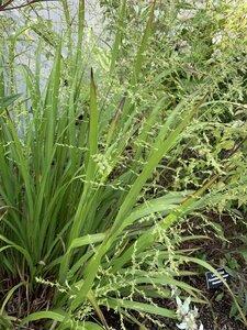 Coleataenia anceps ssp. anceps - Shawn Krosnick