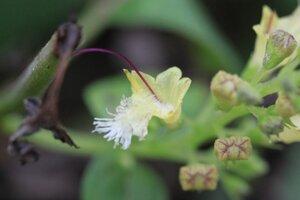 Collinsonia canadensis - Dwayne Estes