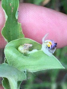 Commelina erecta var. erecta - Dwayne Estes
