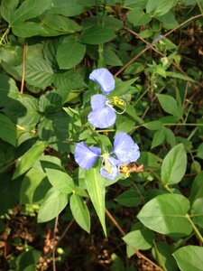 Commelina erecta var. erecta - Milo Pyne
