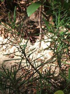 Conradina verticillata - Dwayne Estes
