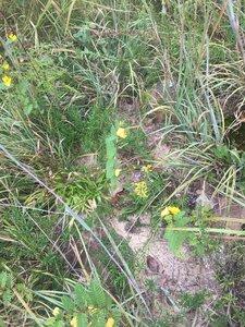 Conradina verticillata - Tara Littlefield