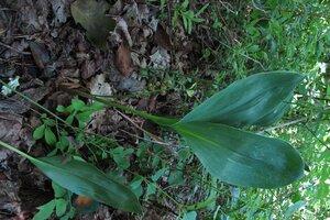 Convallaria pseudomajalis - Milo Pyne