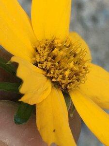 Coreopsis auriculata - Joey Shaw