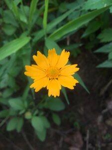 Coreopsis auriculata - Tara Littlefield