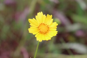 Coreopsis lanceolata - Ashley B. Morris