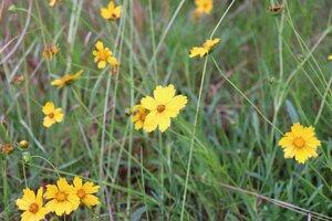 Coreopsis lanceolata - Ashley B. Morris