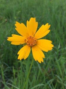 Coreopsis lanceolata - Dwayne Estes