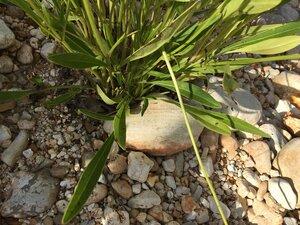 Coreopsis lanceolata - Joey Shaw