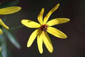 Coreopsis tripteris - Ashley B. Morris