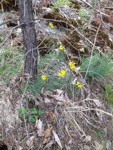 Coreopsis verticillata - Milo Pyne