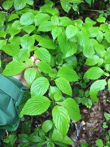 Cornus alternifolia - Joey Shaw