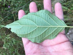 Cornus amomum - Dwayne Estes