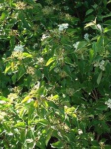 Cornus amomum - Milo Pyne