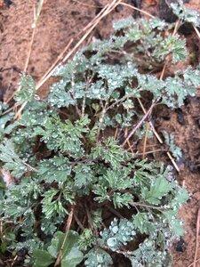 Corydalis flavula - Milo Pyne