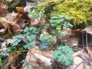 Corydalis flavula - Tara Littlefield