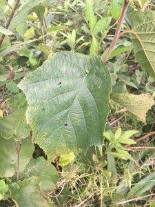 Corylus americana - Theo Witsell