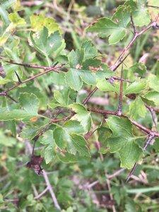 Crataegus phaenopyrum - Tara Littlefield