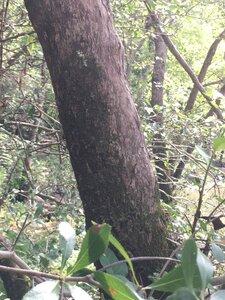 Crataegus uniflora - Tara Littlefield