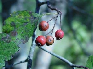 Crataegus viridis - Dwayne Estes