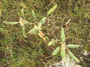 Croton capitatus - Dwayne Estes