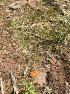 Croton michauxii - Dwayne Estes