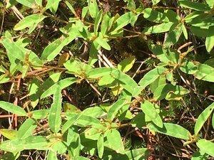 Croton willdenowii - Dwayne Estes