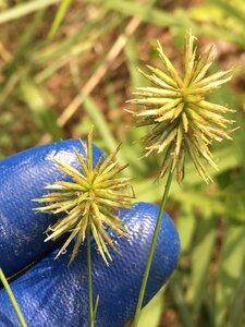 Cyperus lancastriensis - Dwayne Estes