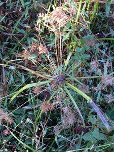 Cyperus odoratus var. odoratus - Milo Pyne