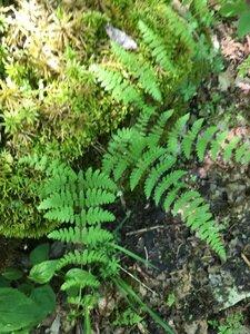 Cystopteris bulbifera - Tara Littlefield