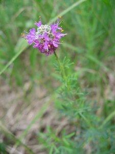 Dalea purpurea - Tara Littlefield