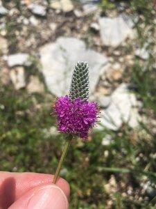 Dalea purpurea - Theo Witsell