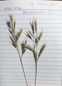 Danthonia epilis - Milo Pyne