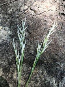 Danthonia sericea - Dwayne Estes