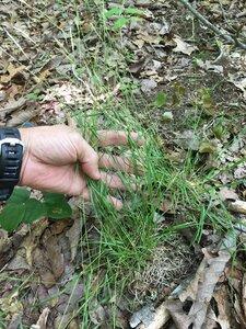 Danthonia spicata - Dwayne Estes